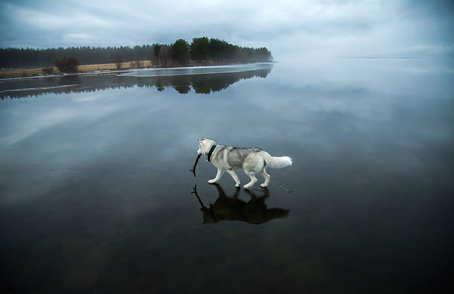 photography-dogs-siberian-husky-frozen-lake-fox-grom-7