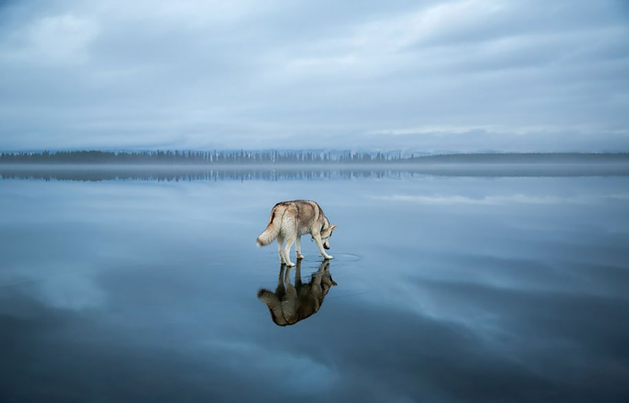 photography-dogs-siberian-husky-frozen-lake-fox-grom-8