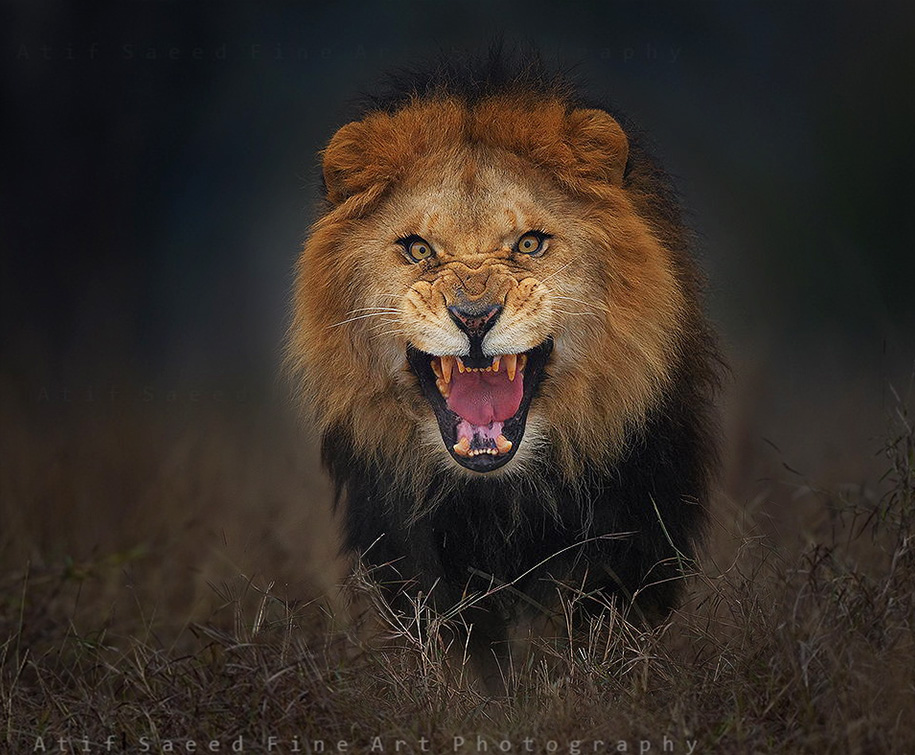 animal-photography-angry-charging-lion-atif-saeed-pakistan-10