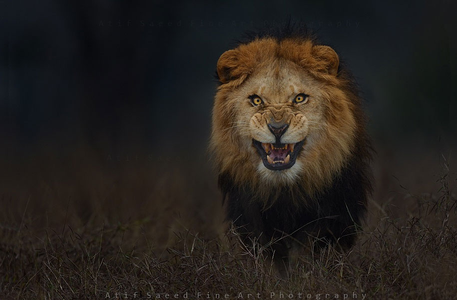 animal-photography-angry-charging-lion-atif-saeed-pakistan-3