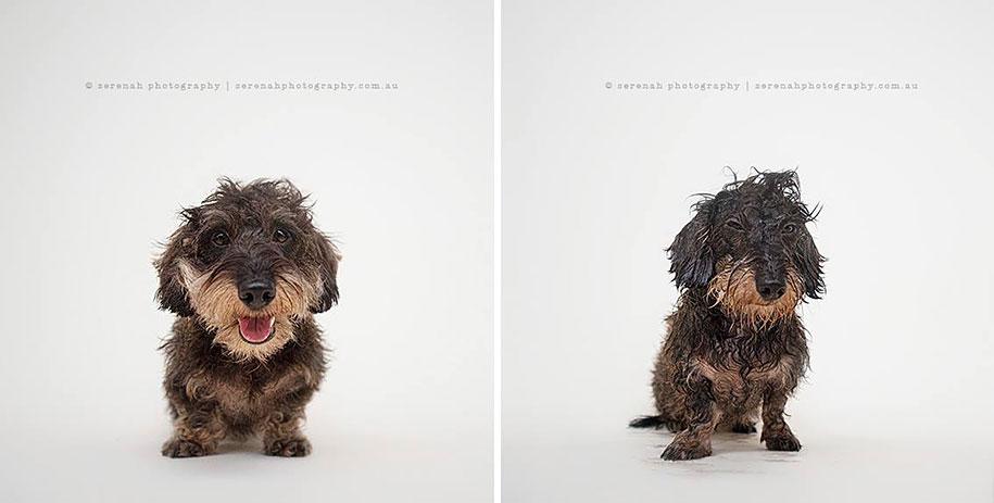 animal-portraits-dry-dog-wet-dog-serenah-hodson-01