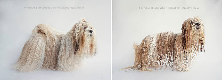 animal-portraits-dry-dog-wet-dog-serenah-hodson-02