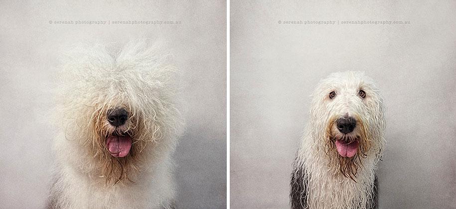 animal-portraits-dry-dog-wet-dog-serenah-hodson-03