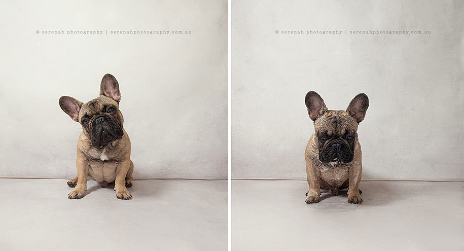 animal-portraits-dry-dog-wet-dog-serenah-hodson-04