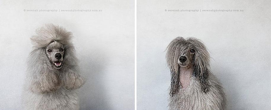 animal-portraits-dry-dog-wet-dog-serenah-hodson-07