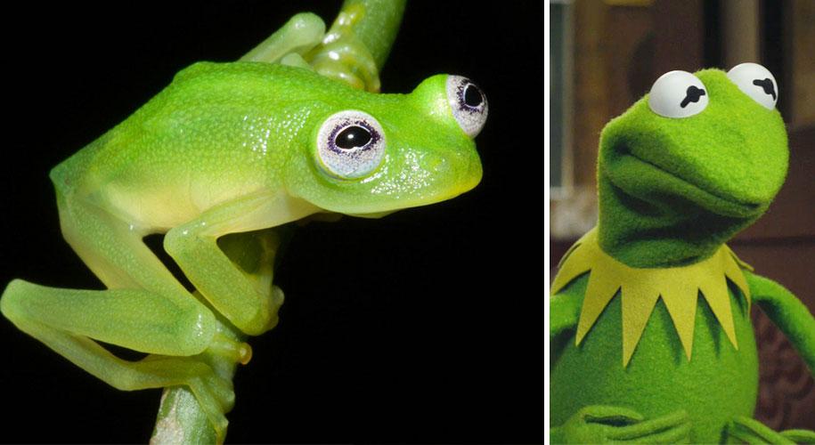 kermit-frog-lookalike-diane-bare-hearted-glassfrog-costa-rica-04