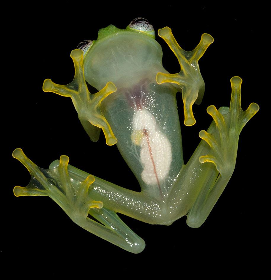 kermit-frog-lookalike-diane-bare-hearted-glassfrog-costa-rica-06