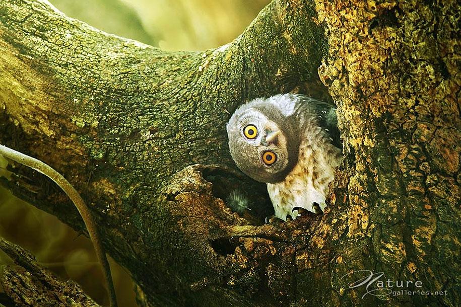 owl-photography-sasi-smit-5