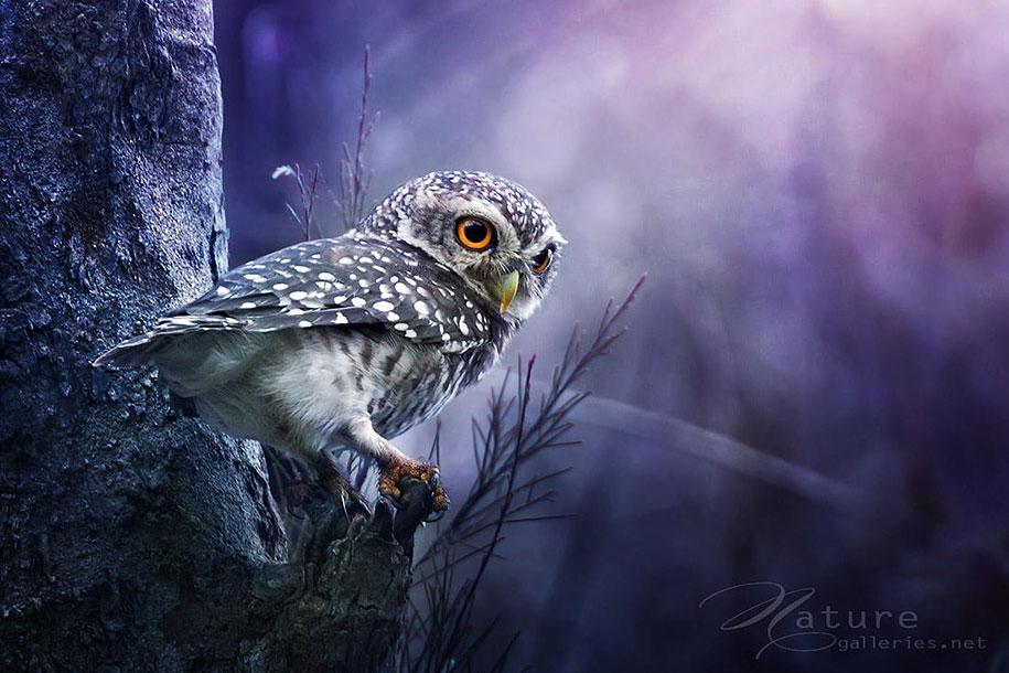 owl-photography-sasi-smit-8