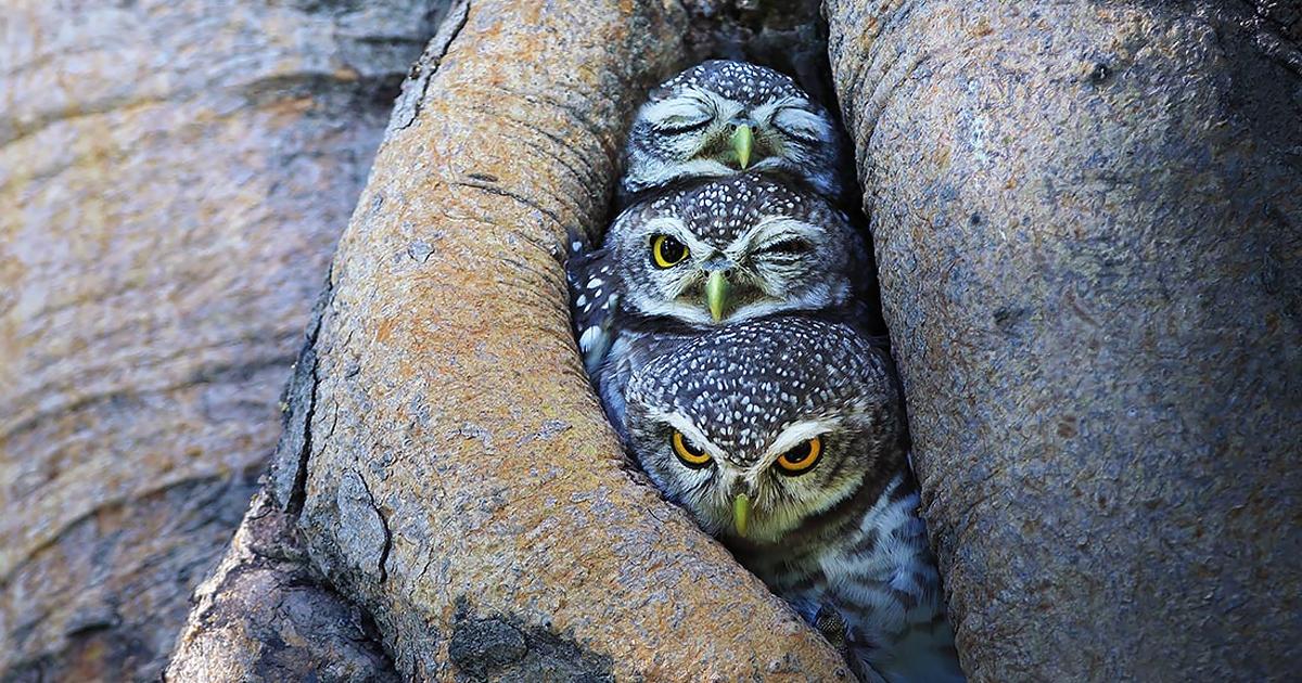 adorable-bird-animal-owl-photography-sasi-smith-fb