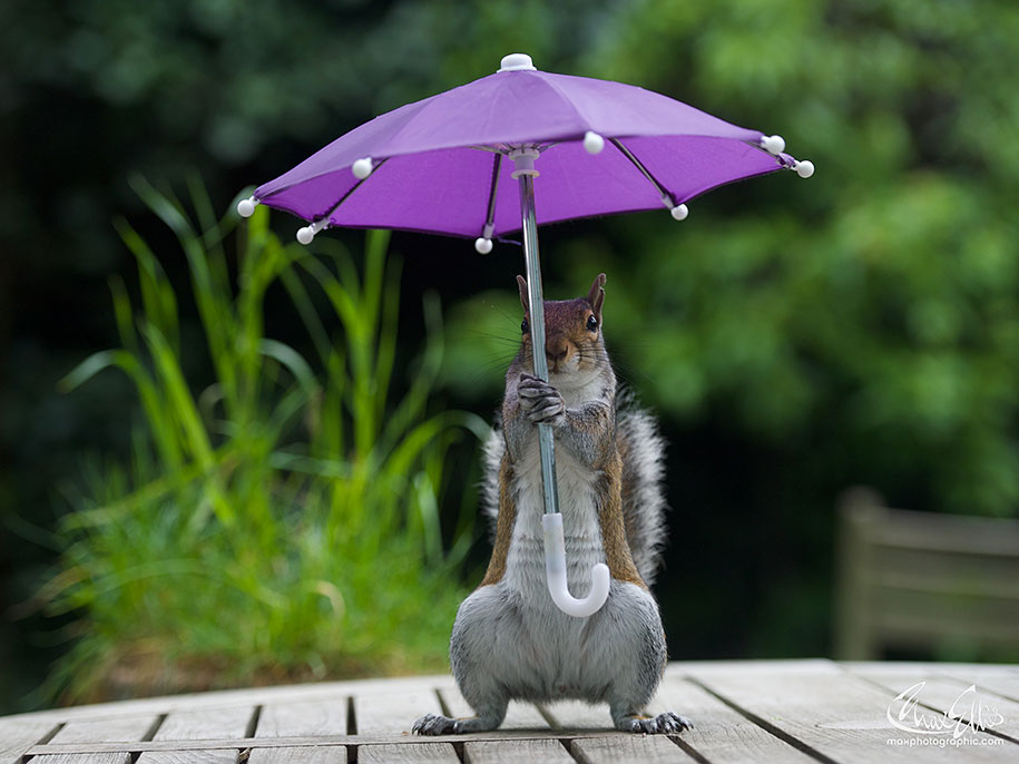 Secret Squirrel Protect Your Nuts Patch: Photographer Gives Squirrel An Umbrella To Protect Itself