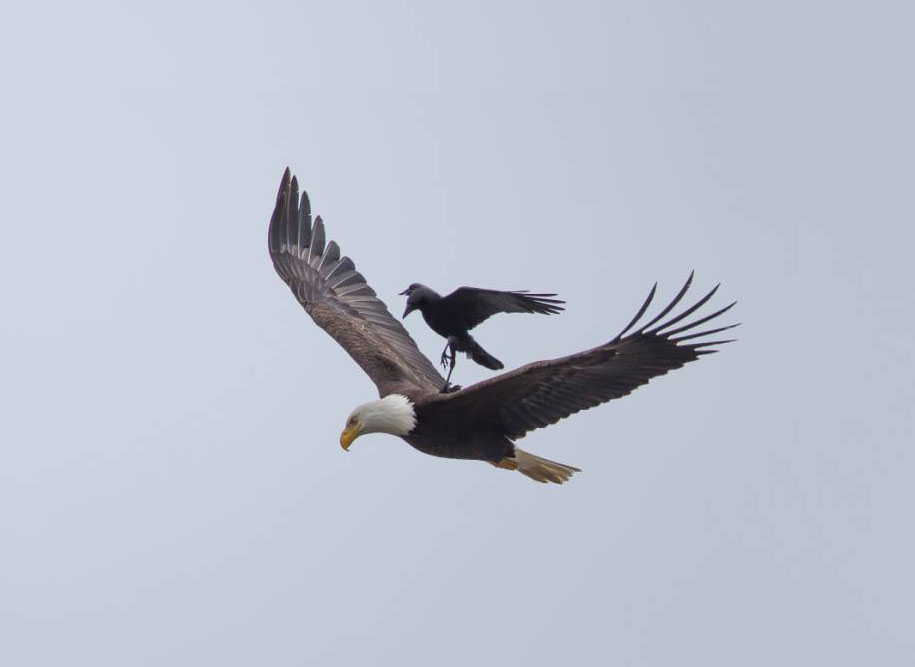 funny-animals-crow-riding-eagle-phoo-chan-2