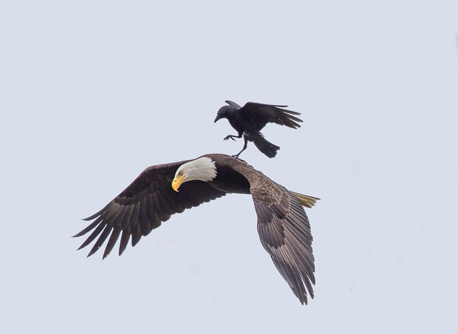 funny-animals-crow-riding-eagle-phoo-chan-3