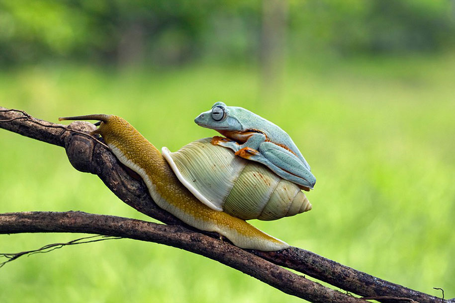 funny-animals-frog-riding-snail-kurito-afsheen-indonesia-1