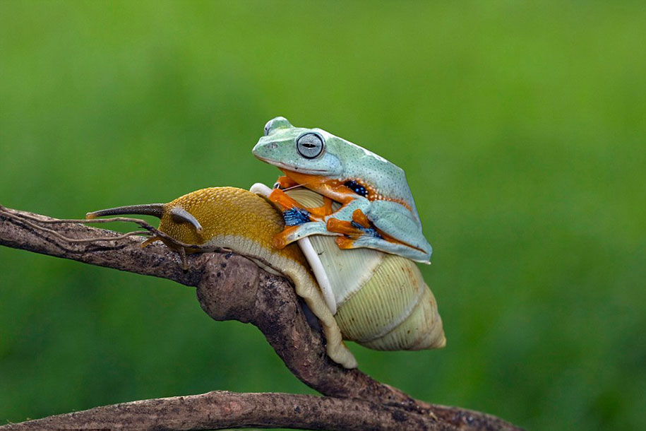 Lazy frog takes a ride on the back of a snail for Caracol de jardin