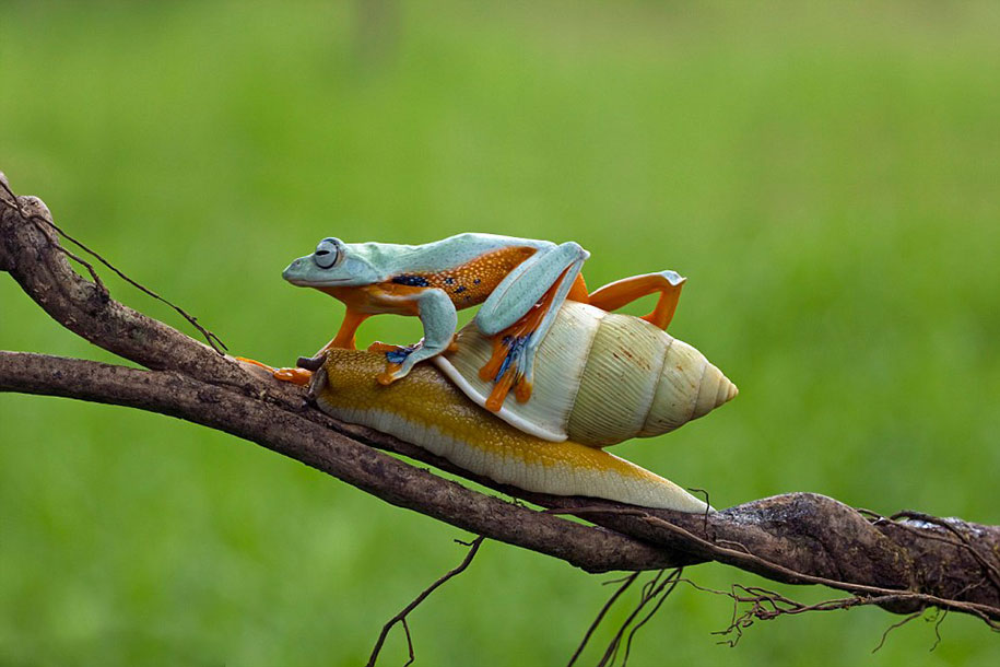 funny-animals-frog-riding-snail-kurito-afsheen-indonesia-7