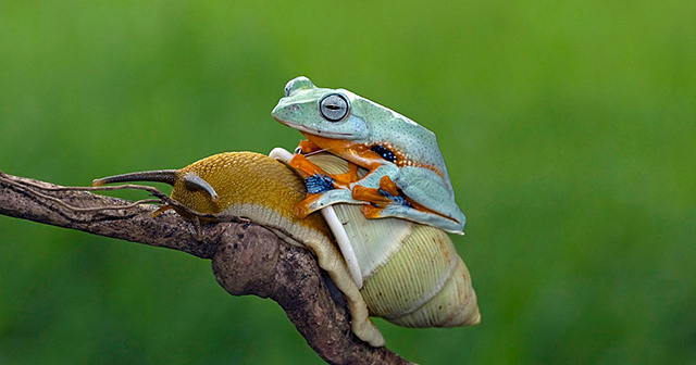 Lazy frog takes a ride on the back of a snail demilked - Funny frog pictures ...