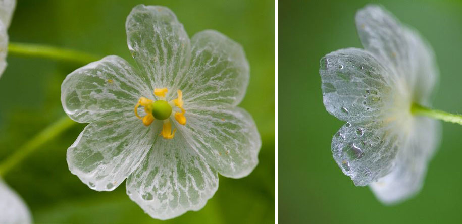transparent-rain-wet-skeleton-flowers-diphylleia-grayi-26