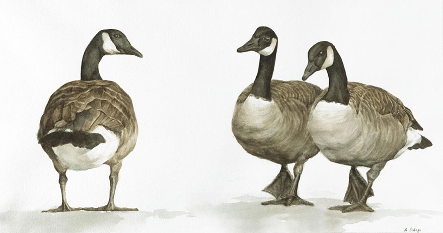 biologist-waterpainting-birds-anne-balogh-7