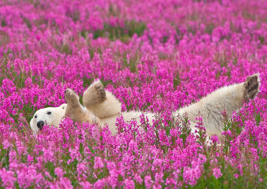 polar-bears-summer-fields-playing-photo-dennis-fast-canada-1
