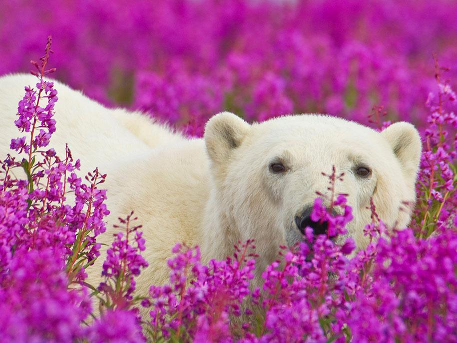 polar-bears-summer-fields-playing-photo-dennis-fast-canada-14