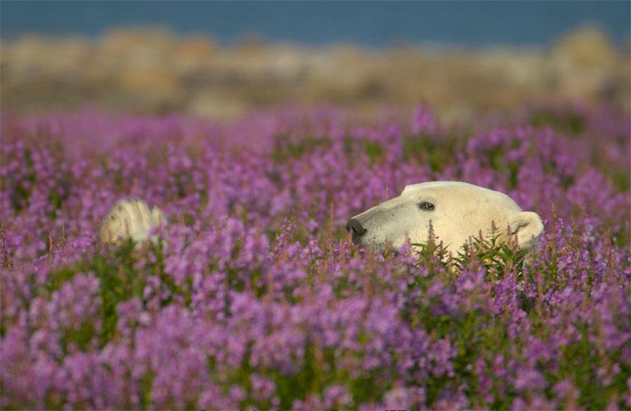 polar-bears-summer-fields-playing-photo-dennis-fast-canada-18