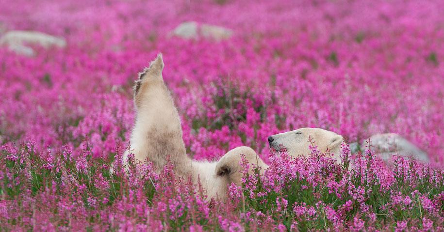 polar-bears-summer-fields-playing-photo-dennis-fast-canada-20
