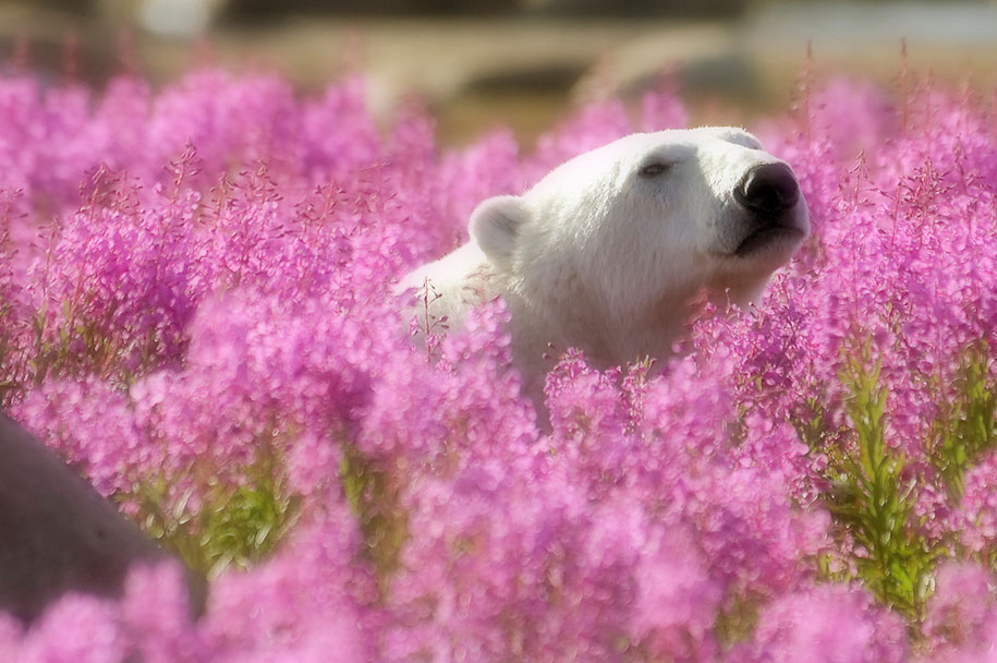 polar-bears-summer-fields-playing-photo-dennis-fast-canada-22