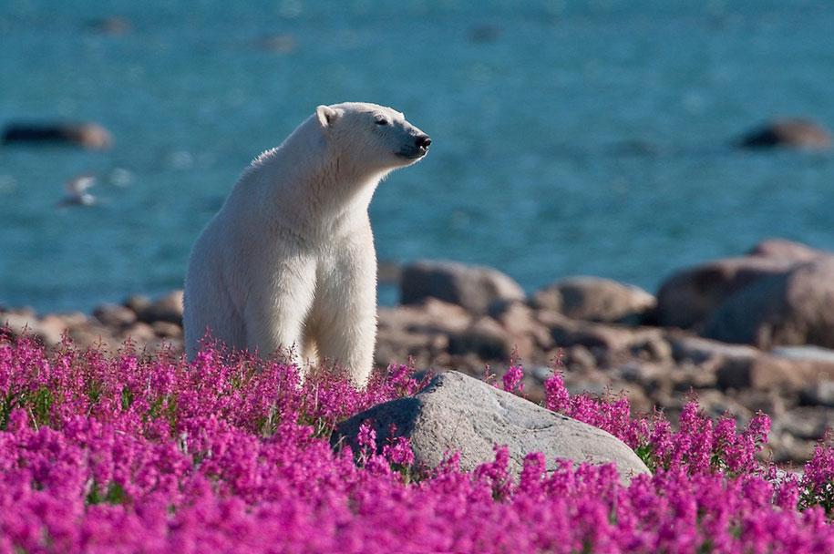 polar-bears-summer-fields-playing-photo-dennis-fast-canada-24