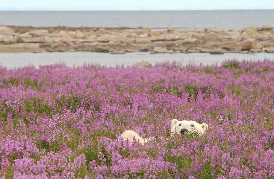 polar-bears-summer-fields-playing-photo-dennis-fast-canada-25