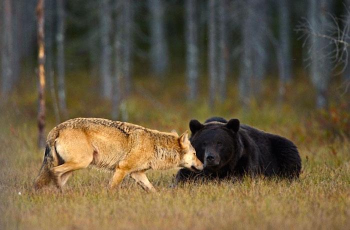 unusual-animal-friendship-gray-wolf-brown-bear-lassi-rautiainen-finland-111
