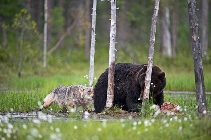 unusual-animal-friendship-gray-wolf-brown-bear-lassi-rautiainen-finland-141
