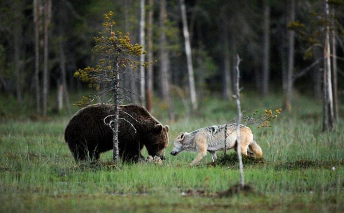 unusual-animal-friendship-gray-wolf-brown-bear-lassi-rautiainen-finland-81