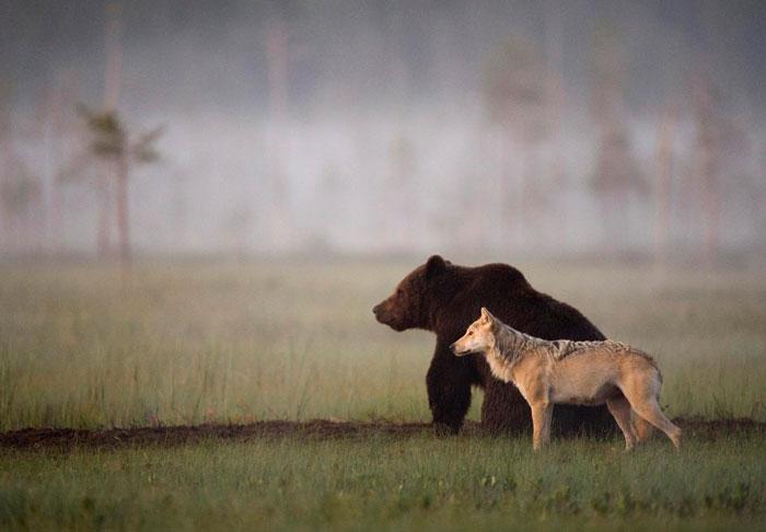 unusual-animal-friendship-gray-wolf-brown-bear-lassi-rautiainen-finland-91