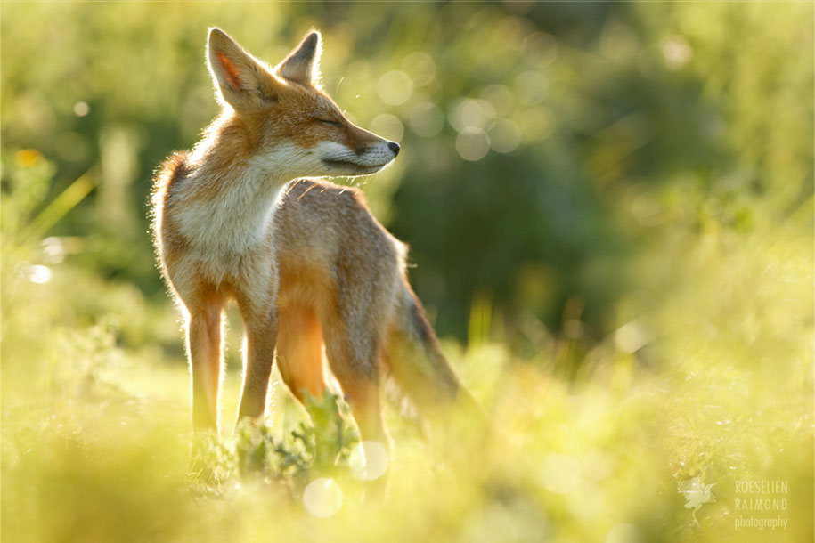 happy-relaxed-animals-zen-foxes-roeselien-raimond-netherlands-10