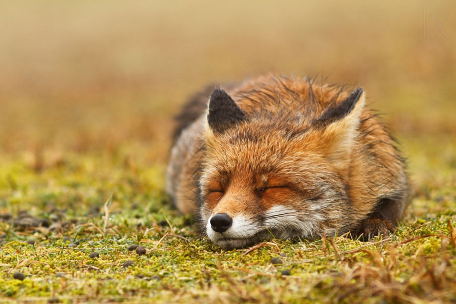 happy-relaxed-animals-zen-foxes-roeselien-raimond-netherlands-13