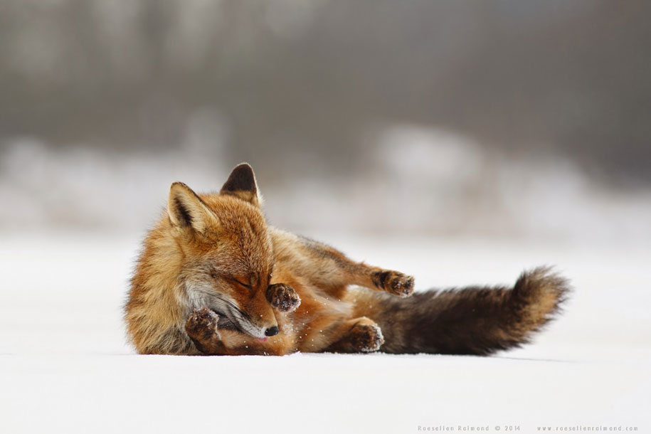 happy-relaxed-animals-zen-foxes-roeselien-raimond-netherlands-14