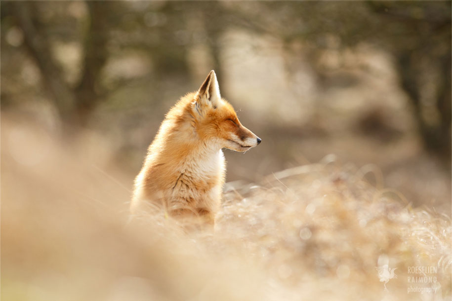 happy-relaxed-animals-zen-foxes-roeselien-raimond-netherlands-5