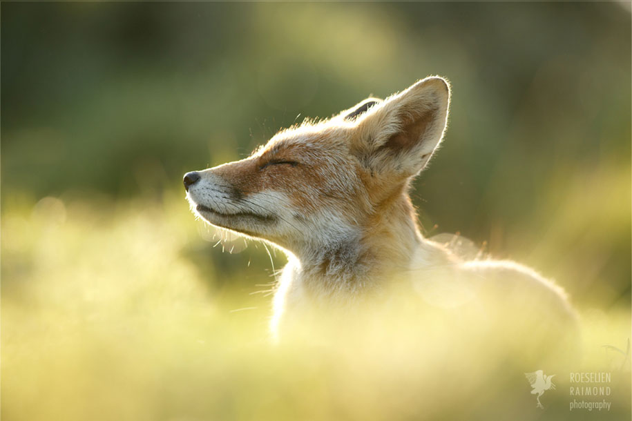 zen foxes animals fox animal happy relaxed roeselien raimond backlight does netherlands quite wildlife relax should learn close photographer sense