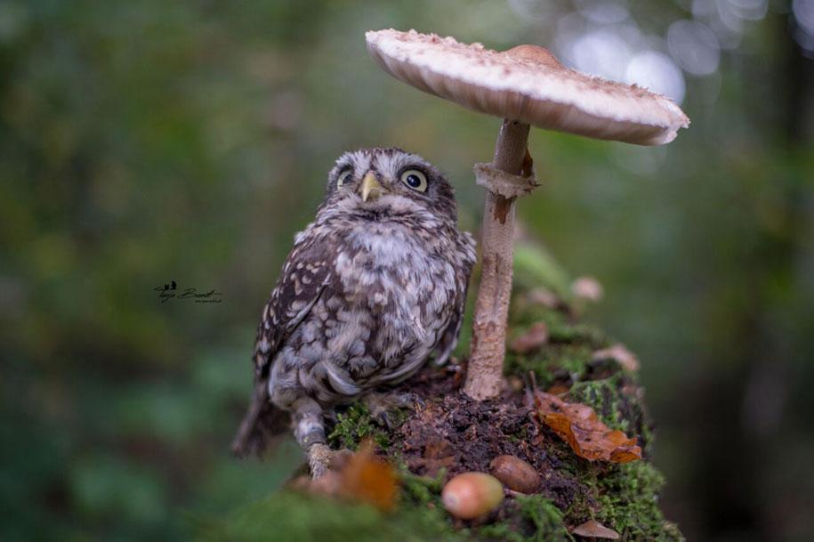animal-photo-owl-hide-rain-mushroom-podli-tanja-brandt-11