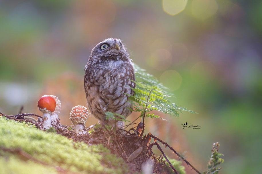 animal-photo-owl-hide-rain-mushroom-podli-tanja-brandt-7