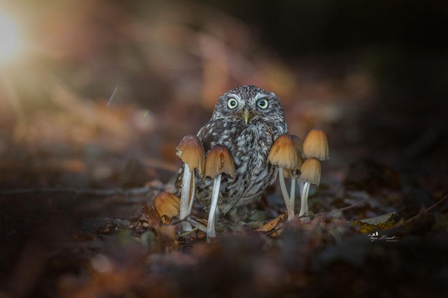 animal-photo-owl-hide-rain-mushroom-podli-tanja-brandt-9