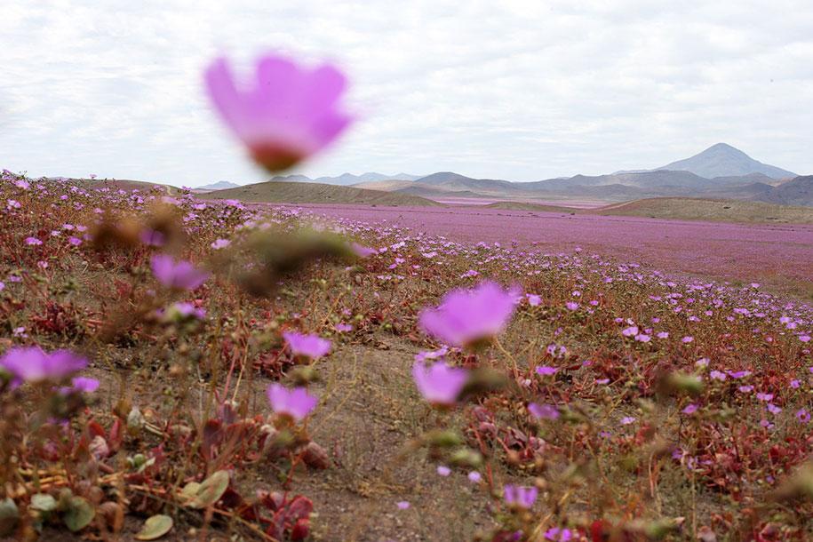 worlds-driest-desert-heavy-rains-flower-blooms-chile-2