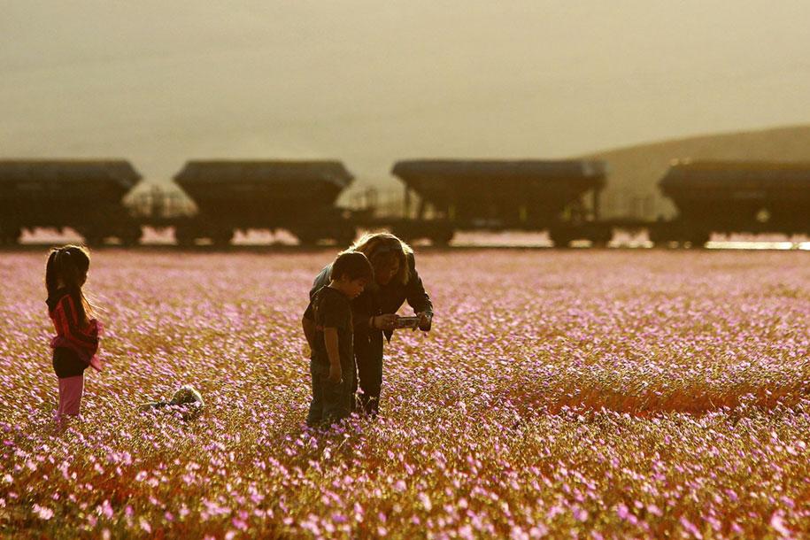 worlds-driest-desert-heavy-rains-flower-blooms-chile-3
