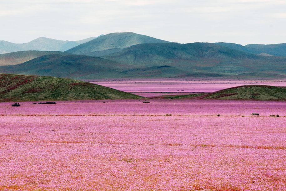 worlds-driest-desert-heavy-rains-flower-blooms-chile-4