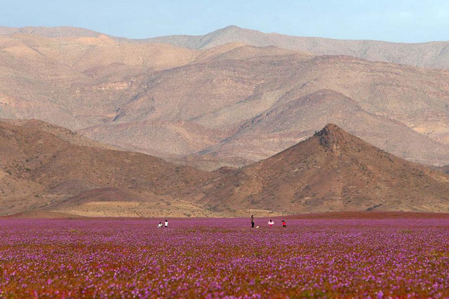 worlds-driest-desert-heavy-rains-flower-blooms-chile-7