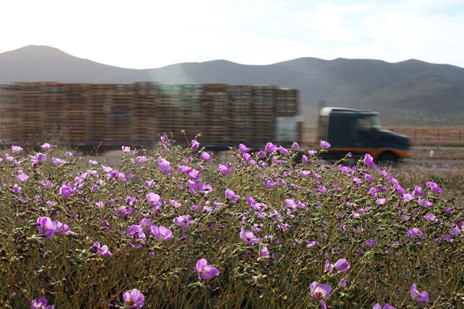 worlds-driest-desert-heavy-rains-flower-blooms-chile-9