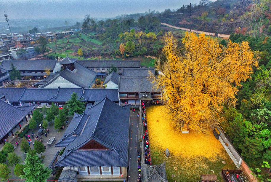 yellow-leaves-1400-year-old-ginko-tree-gu-guanyin-buddhist-temple-china-2