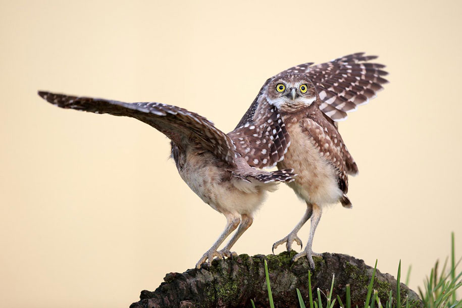 funny-animal-pictures-comedy-wildlife-photography-awards-paul-joynson-hicks-16