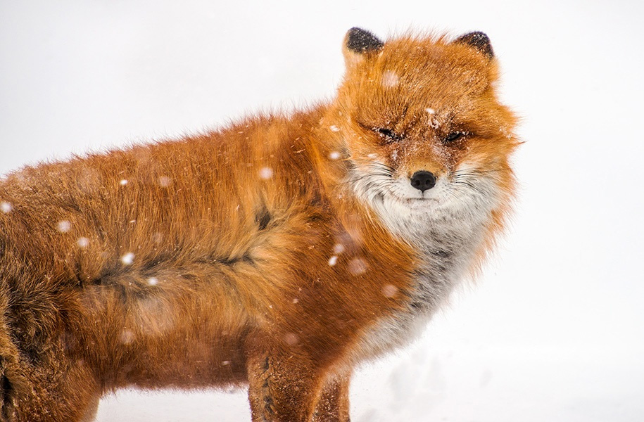 winter-fox-photos-russian-miner-ivan-kislov-chukotka-2